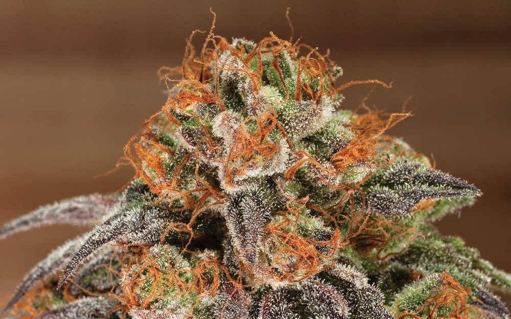 potent marijuana strains
