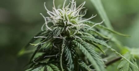 Caryophyllene for cannabis strains