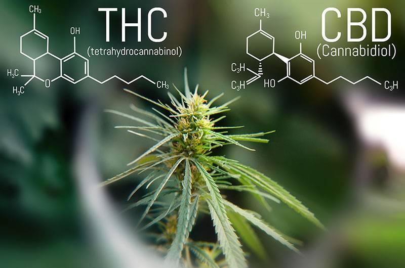 THC strain into a CBD strain