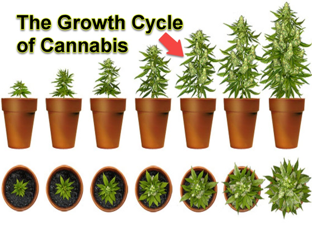 Marijuana plant growth cycle